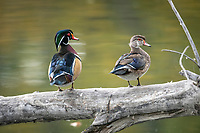 Pair of Wood duck (aix sponsa), Inglewood Bird Sanctuary, Calgary, Alberta, Canada,