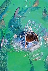 Atlantic tarpon, Megalops atlanticus, feeding frenzy on baitfish, Islamorada, Florida Keys National Marine Sanctuary, Florida, USA, Caribbean Sea, Atlantic Ocean