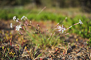 "Blooming sand pink (Dianthus arenarius) on coastal dunes in late afternoon, nature reserve ""Užava"" (dabas liegums ""Užava""), Kurzeme, Latvia Ⓒ Davis Ulands   davisulands.com"