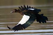 A Muscovy duck, Cairina moschata, in flight over Rio Claro.