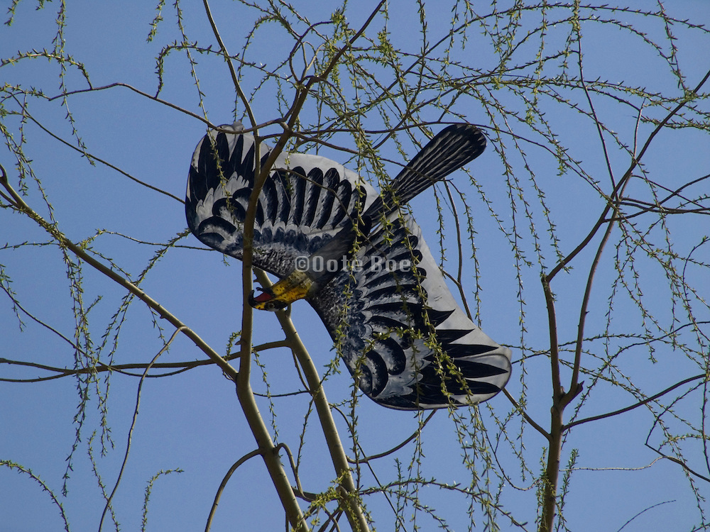 a kite in the form of a hawk stuck in the top of a tree