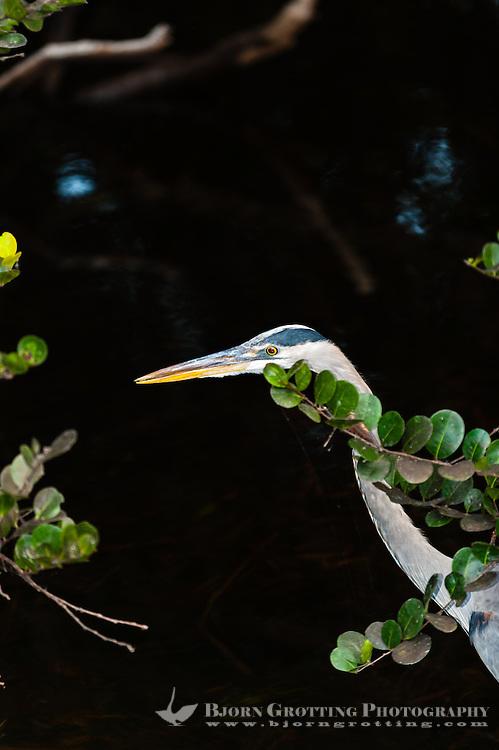US, Florida, Everglades, Shark Valley. Great Blue Heron.