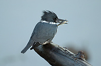 Belted Kingfisher (Ceryle alcyon), close to Harbour wall at Comox dock with fish (sculpin) in beak