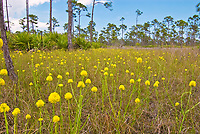 Open prairie in Southeast Florida with yellow bachelor's button wildflowers.