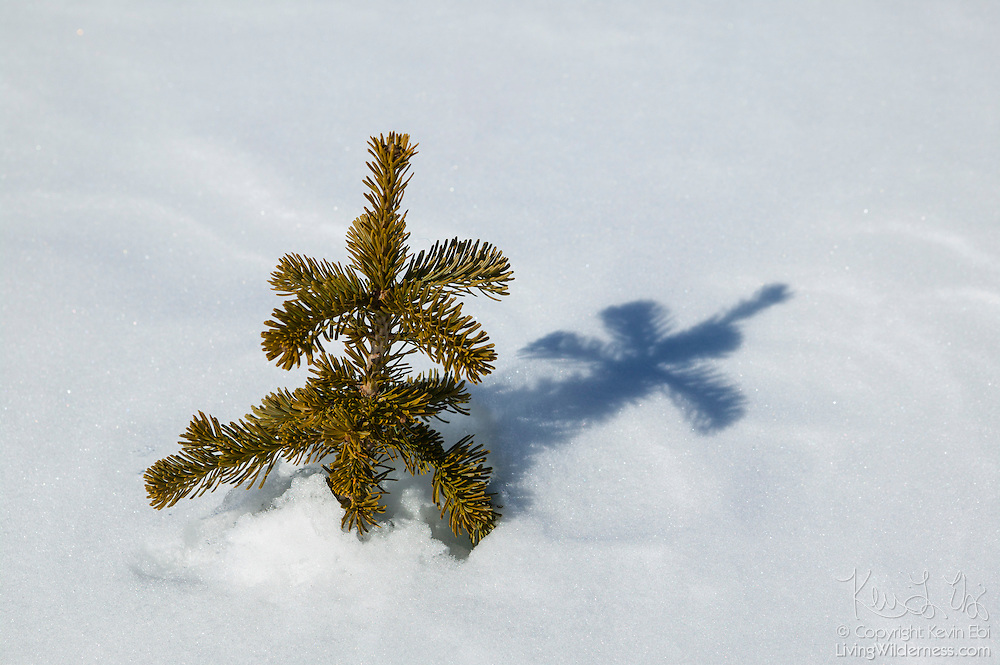 An evergreen tree pokes out from and casts its shadow on a snow drift in Mount Rainier National Park, Washington.