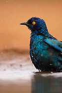Greater Blue-eared Starling, Lamprotornis chalybaeus, Zimanga Private Nature Reserve, KwaZulu Natal, South Africa