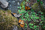 Numerous monarchs arrive in Mexico, but will not survive through winter.