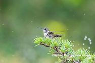01162-15412 Ruby-throated Hummingbird (Archilochus colubris) bathing in sprinkler Marion Co. IL