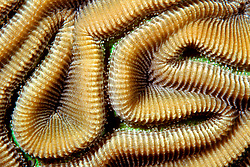grooved brain coral, Diploria labyrinthiformis, Charlie's Reef, Cayman Brac, Caribbean Sea, Atlantic Ocean