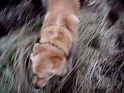 Golden Retriever Lemmy während einem Spaziergang im Feld. Der Golden Retriever ist ein intelligenter, freudig arbeitender Hund, dem auch extreme, nasskalte Witterungsbedingungen nichts ausmachen. Dem steht allerdings eine relativ starke Empfindlichkeit hinsichtlich hoher Temperaturen gegenüber. Grundsätzlich ist die Rasse ruhig, geduldig, aufmerksam und niemals aggressiv.<br /> <br /> Golden Retriever Lemmy during a walk in the fields.