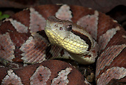 Jumping Pitviper Snake, Atropoides mexicanus, Central American ,jumping tommygoff, mainly nocturnal, but sometimes basks in sun, in leaflitter, tail used as a lure, camouflaged, venemous