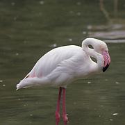 Greater flamingo (Phoenicopterus roseus) in shallow water in a bird park. Kuala Lumpur, Malaysia. Captive Animal