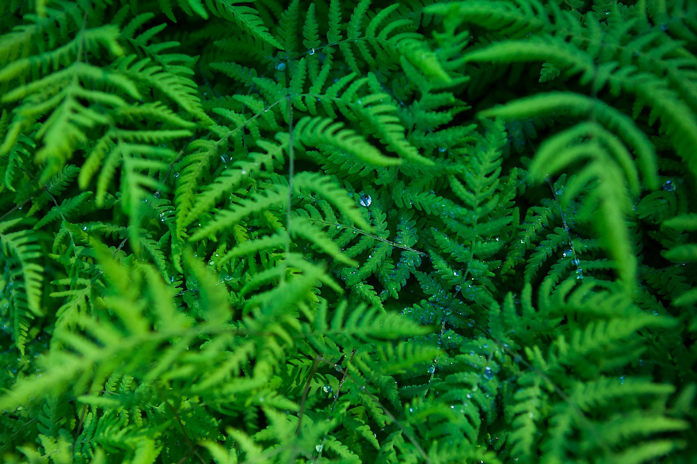 Ferns with dew drops on the Hidden Lake Trail, Mount Baker-Snoqualmie National Forest, Washington.