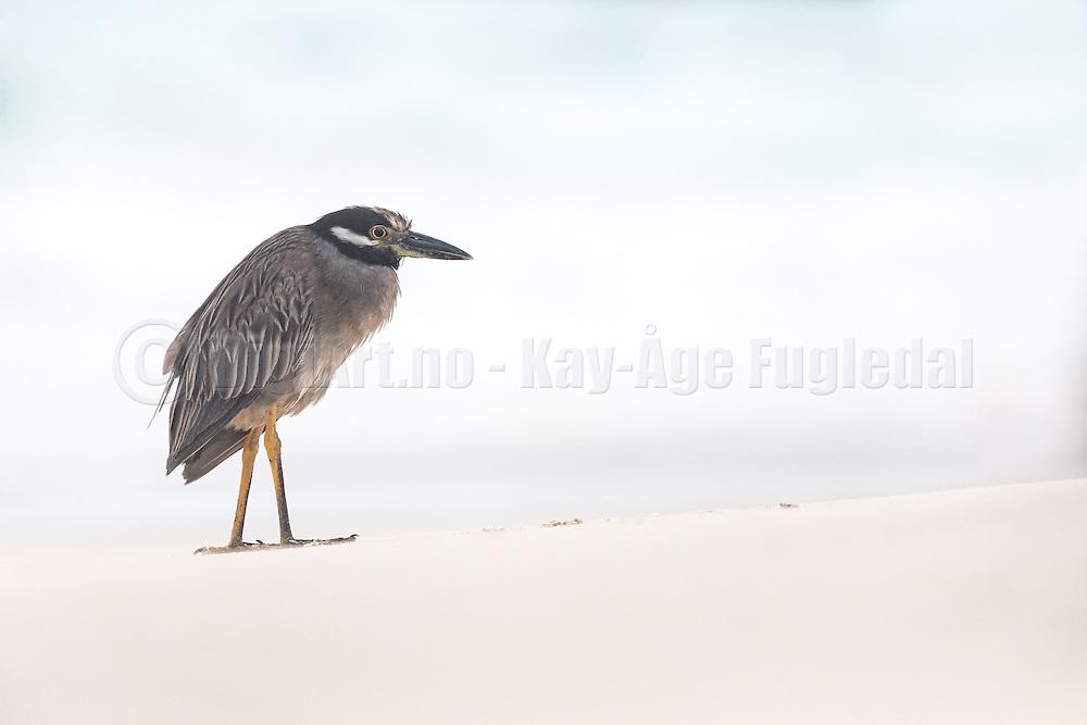 Lava Heron standing on the beach at Floreana Island, Galapagos | En Lavahegre som som står på stranden.
