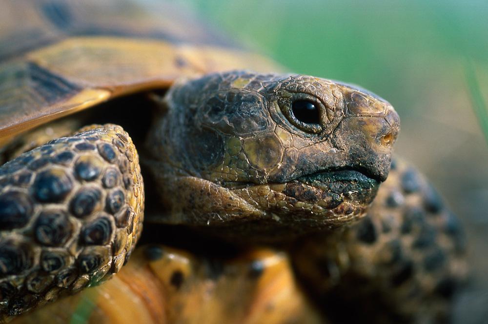 Mediteranian tortoise, Vashlovani National Park, The Country of Georgia