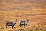 Wildlife - Caribou