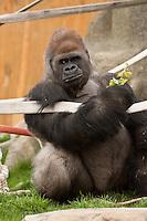 Silverback Western Lowland Gorilla at the Calgary Zoo..©2009, Sean Phillips.http://www.Sean-Phillips.com