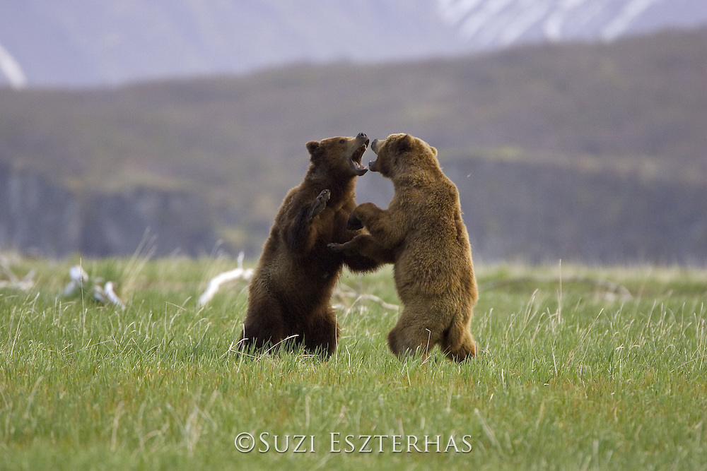 Alaskan Brown Bear<br /> Ursus arctos middendorffi<br /> Males sparring<br /> Katmai National Park, AK