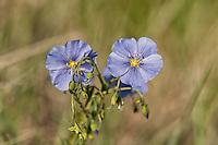 The western blue flax is a widespread native member of the flax family and is found across nearly all of the western half of North America, from Mexico to the Arctic circle. This one was photographed in rural central Wyoming.