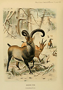 The Iberian ibex (Capra pyrenaica), also known as the Spanish ibex, Spanish wild goat, or Iberian wild goat, is a species of ibex endemic to the Iberian Peninsula.  colour illustration From the book ' Wild oxen, sheep & goats of all lands, living and extinct ' by Richard Lydekker (1849-1915) Published in 1898 by Rowland Ward, London