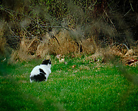 Neighborhood Cat hunting in my backyard. Image taken with a Fuji X-T2 camera and 100-400 mm OIS lens (ISO 250, 400 mm, f/6.4, 1/60 sec)