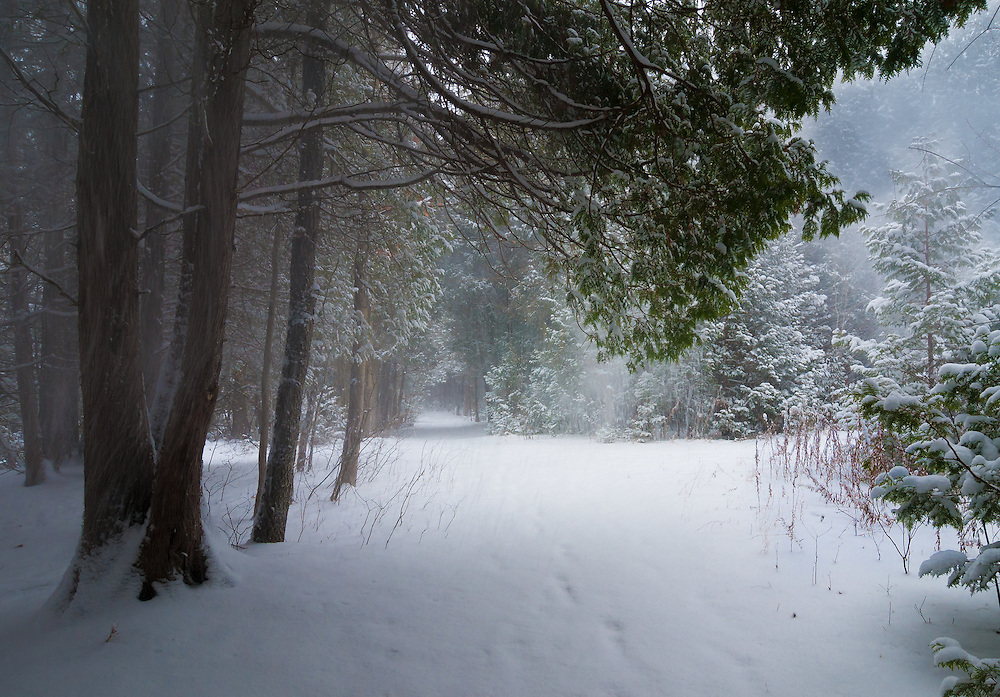 SUBJECT: Winter woodland scene IMAGE: A woodland trail under snow-laden trees, with puffs of snow blown off higher branches and the telltale foot prints left by a passer-by some time previously.