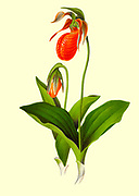 Cypripedium acaule is a species of flowering plant in the orchid family Orchidaceae. It is commonly referred to as the pink lady's slipper or moccasin flower. from the book Beautiful wild flowers of America : from original water-color drawings after nature by  Isaac Sprague, 1811-1895 Published by Troy, Nims and Knights in New York in 1884 With Descriptive text by Rev. A. B. HERVEY