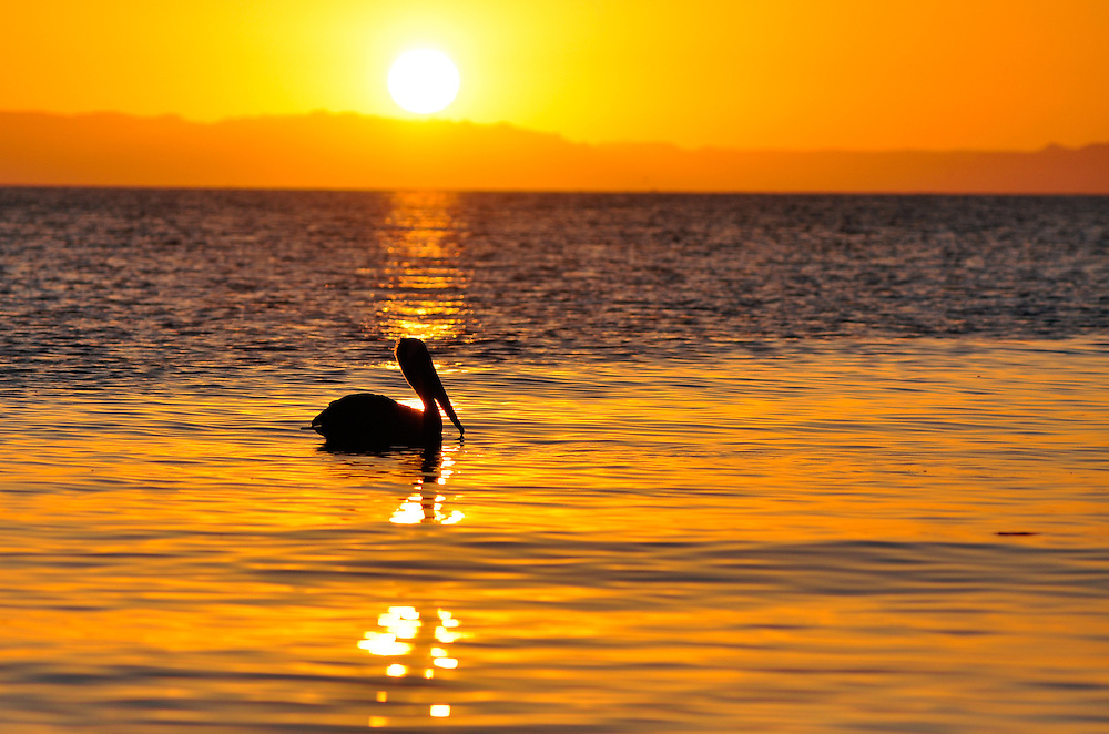 Pelican at sunset, Sea of Cortez, Baja California, Mexico.