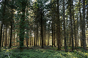 Tree trunks of conifer or pine trees in a forested area on 6th May 2021 in Eggesford, Devon, United Kingdom. Light penetrates through the dark forest floor in this managed area of woodland.