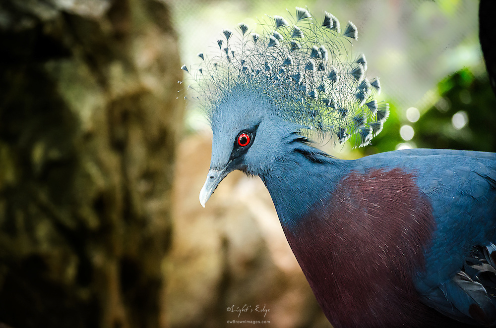 A Victorian Crowned Pigeon named Gertie at the Philadelphia Zoo in the Tropical Rainforest section of the McNeil Avian Center.
