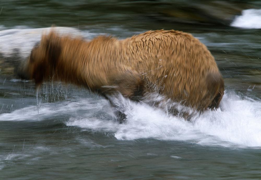 USA, Alaska, Katmai NP, Grizzly bear (Ursus arctos) running at Brooks Falls