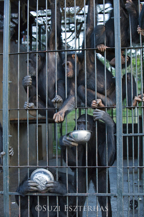Chimpanzee<br /> Pan troglodytes<br /> Rehabilitated chimps drinking warm Posho meal in sleeping quarters<br /> Ngamba Island Chimpanzee, Sanctuary <br /> *Captive