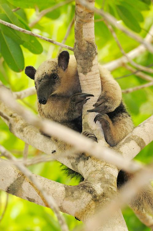 Southern Tamandua tree anteater, Tamandua tetradactyla, Pantanal, Brazil, South America