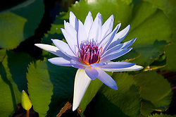 Water Lily, Vero Beach, Florida, US