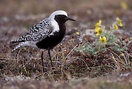 Adult breeding<br /> Seward Peninsula, AK<br /> June 2002 Grey Plover - Pluvialis squatarola - Adult moulting into full Summer Plumage. L 28cm. Plump-bodied coastal wader. Best known in winter plumage but breeding plumage sometimes seen in newly-arrived, or shortly-to-depart, migrants. In flight, note black 'armpits' on otherwise white underwings. Typically solitary. Sexes are similar. Adult in winter looks overall grey but upperparts are spangled with black and white and underparts are whitish. Legs and bill are dark. In summer plumage, has striking black underparts (sometimes rather mottled in females) separated from spangled grey upperparts by broad white band. Juvenile resembles winter adult but has buff wash to plumage. Voice Utters diagnostic, trisyllabic pee-oo-ee call, like a human wolf-whistle. Status Nests in high Arctic; coastal, non-breeding visitor to Britain and Ireland