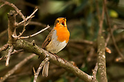 European robin on a branch. European robins (Erithacus rubecula) are small birds found throughout most of Europe, inhabiting gardens, woodland, parks and hedges. They feed mostly on worms and insects, though they also eat fruit and berries in winter. Photographed in Israel in November