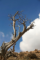 Old Bristlecone pine in sand Wash Basin, Colorado, USA   Photo: Peter Llewellyn