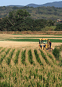 Spain, Catalonia, agricultural fields harvesting corn