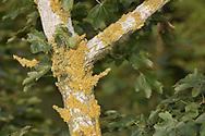 Xanthoria parietina - on tree bark (Field Maple)