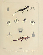 South American geckos Gymnodactylus (top) and South American leaf-toed gecko (Phyllodactylus Gymnopygus) hand coloured sketch From the book 'Voyage dans l'Amérique Méridionale' [Journey to South America: (Brazil, the eastern republic of Uruguay, the Argentine Republic, Patagonia, the republic of Chile, the republic of Bolivia, the republic of Peru), executed during the years 1826 - 1833] Volume 5 Part 1 By: Orbigny, Alcide Dessalines d', d'Orbigny, 1802-1857; Montagne, Jean François Camille, 1784-1866; Martius, Karl Friedrich Philipp von, 1794-1868 Published Paris :Chez Pitois-Levrault. Publishes in Paris in 1847