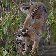 Ring-tailed lemur mother with a young baby feeding on leaves. Berenty Reserve, Madagascar