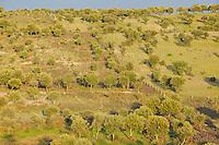 Dehesa forests with Pyrenean oak (Quercus pyrenaica)  and Holm oak (Quercus ilex) in Campanarios de Azába nature reserve, Salamanca Region, Castilla y León, Spain