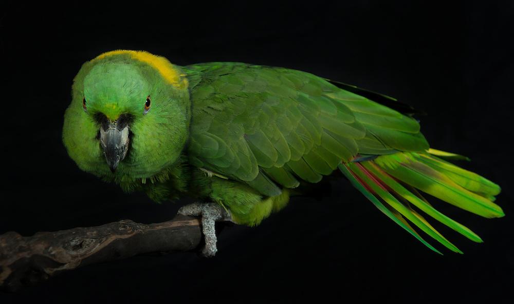 Yellow Naped Amazon Parrot, (Amazona auropalliata); Captive, credit: Pandemonium Aviaries/M.D.Kern