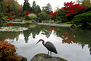 A great blue heron sits in the Seattle Japanese Garden. (Erika Schultz / The Seattle Times)
