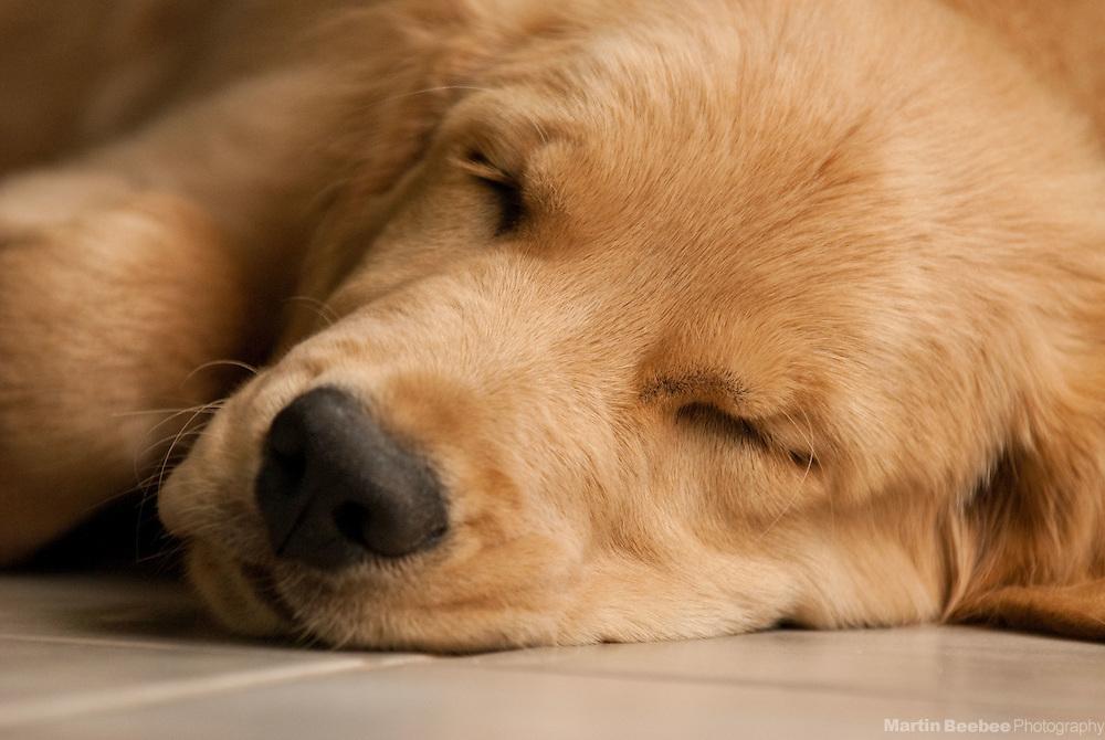 A golden retriever puppy takes a nap