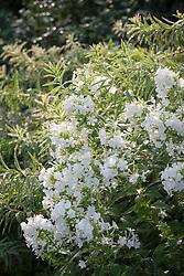 Phlox paniculata 'David' with Euphorbia palustris