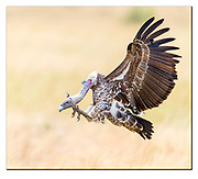 Ruppell's Griffon Vulture landing in Maasai Mara, Kenya. Nikon D5, 600mm, f4, EV+1.67, 1/1250sec, ISO400, Aperture priority