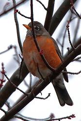 American Robin (turdus migratorius)