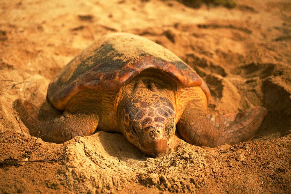 08/Septiembre/2014 Cabo Verde. Boa Vista.<br /> Ejemplar de una hembra de tortuga Carettha carettha en el momento de desovar durante la noche en la playa de Joao Barrosa.<br /> <br /> © JOAN COSTA