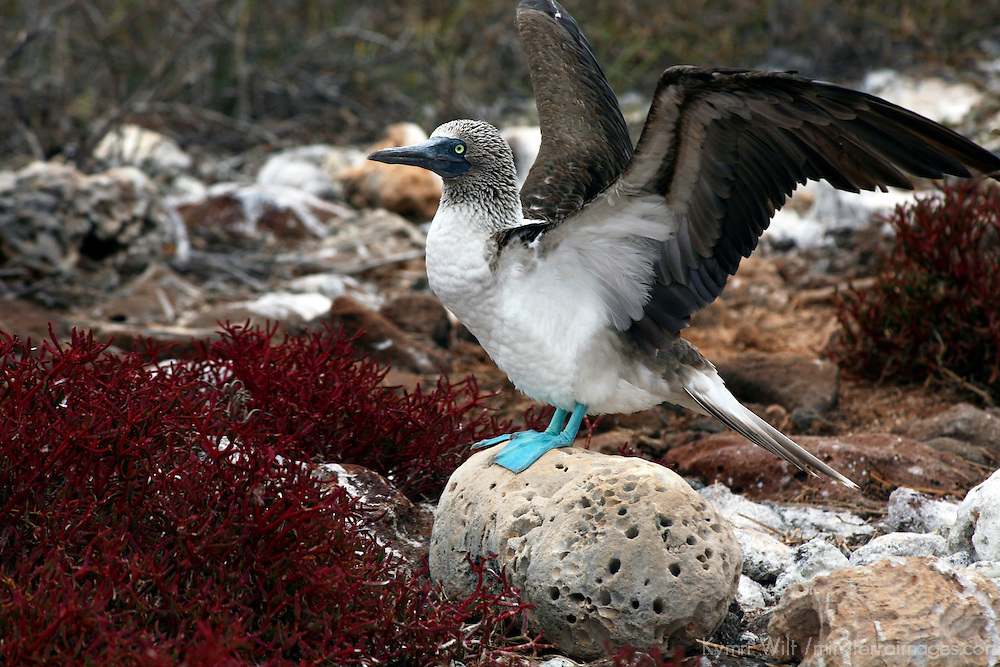 South America, Ecuador, Galapagos Islands, North Seymour Island. Nesting colony of the Blue footed Booby.